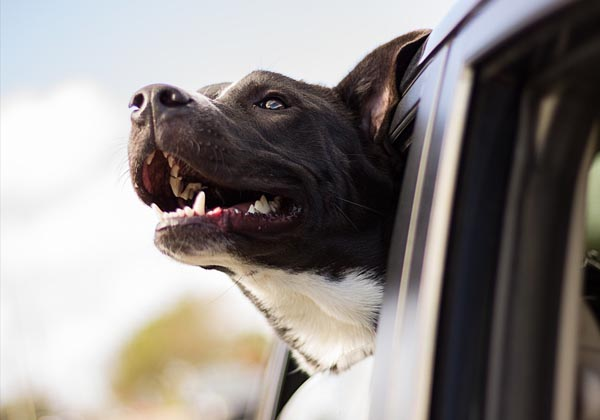 Adult senior dog in car window headed home. EASEL Animal Rescue League has many wonderful shelter dogs and cats available for foster or adoption.