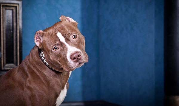 Curious adult pit bull dog wants a family to adopt. EASEL Animal Rescue League & Pet Adoption Center shows how to adopt.